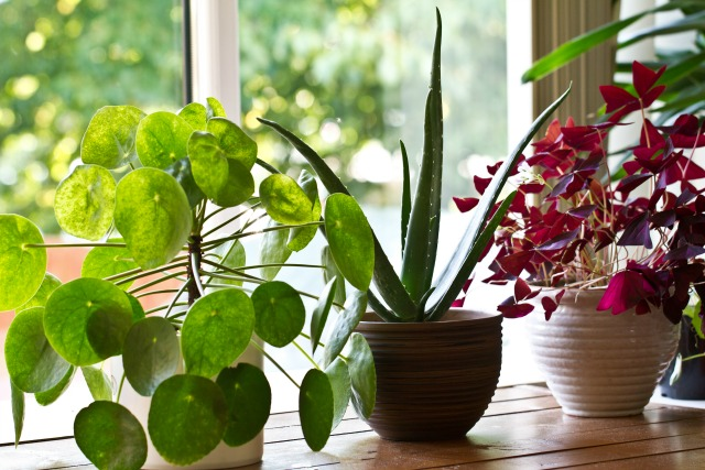 indestructible houseplants that purify the air