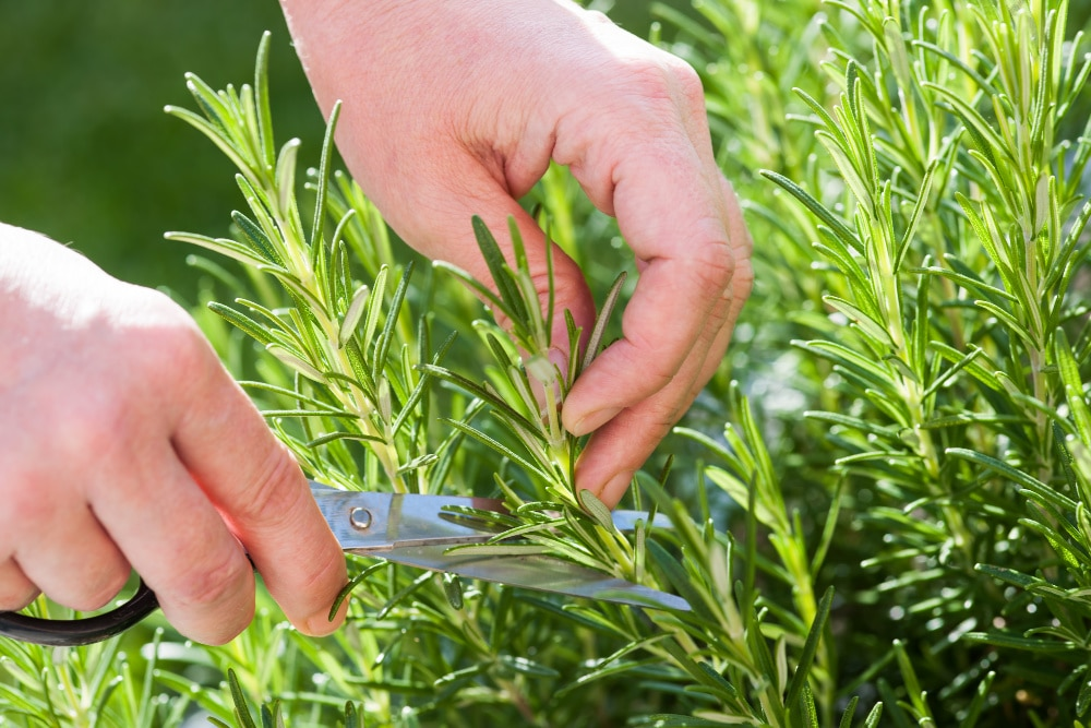 best herb to grow - rosemary