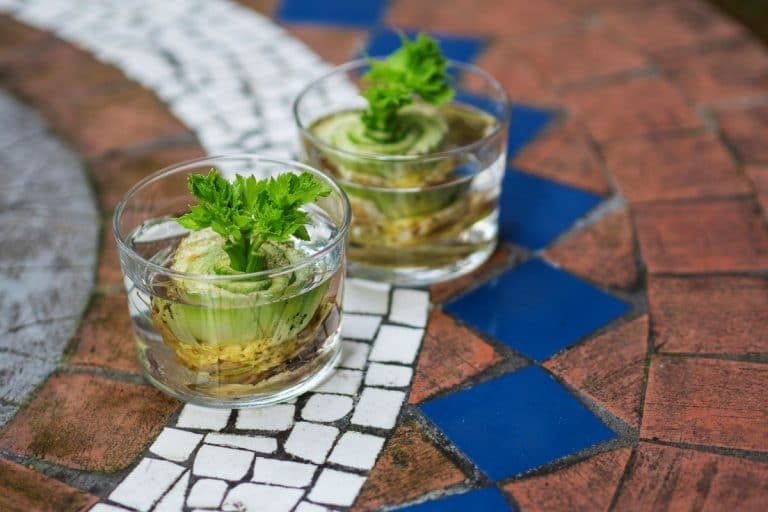 food for free how to regrow celery from the scraps